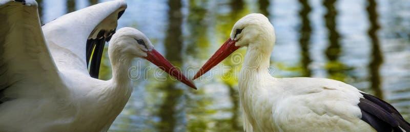 White storks stock photography