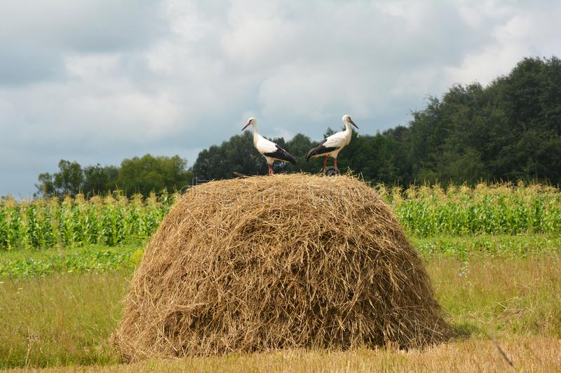 White storks Ciconia ciconia on the haystack in countryside. stock image