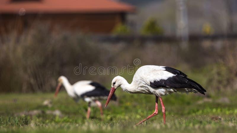 White Storks Feeding stock photography