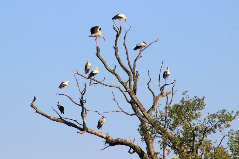 White storks royalty free stock photo