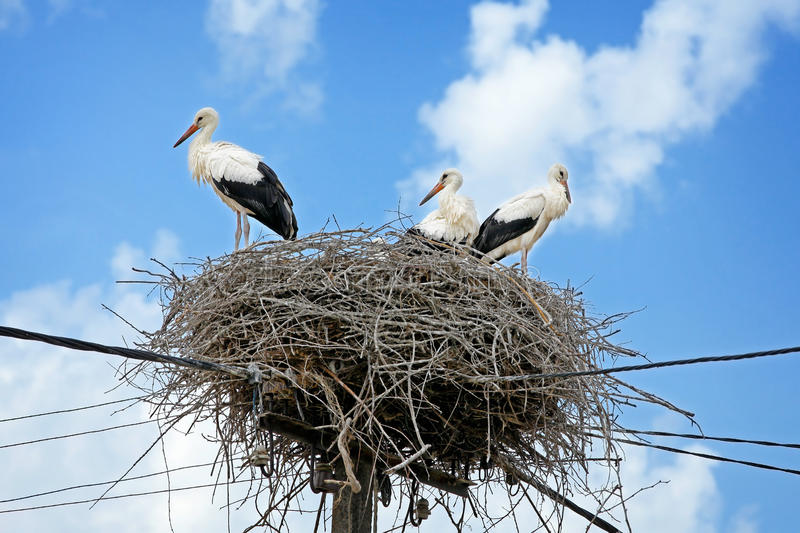 Download White storks in nest stock photo. Image of outdoor, perch - 25724070