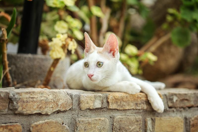White stray cat resting on pavement curb made of bricks, garden trees and leaves in background.  royalty free stock image