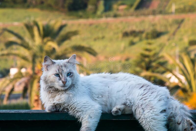 White street dirty cat with a long fur. White cat with a dirty fur, lying on a rubbish bin. Bright blue eyes. Palm trees and ground in the background. Agua de stock photos