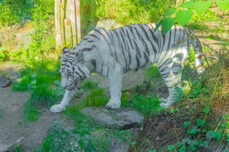 White striped bengal tiger walking around in a forest dangerous animal portrait. A white striped bengal tiger walking around in a forest dangerous animal royalty free stock photography