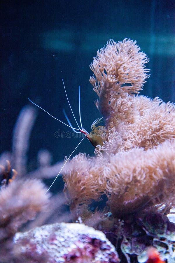 White striped Cleaner Shrimp Lysmata amboinensis stock photo