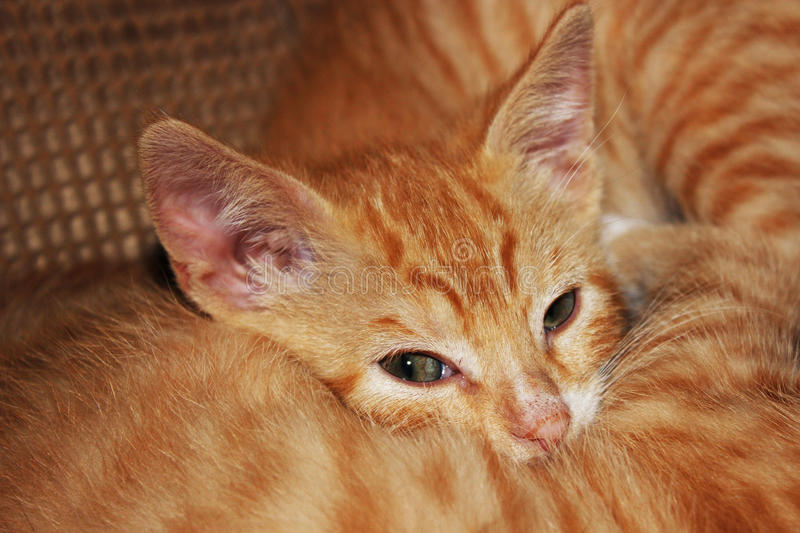 White striped kittens snuggling while they nap. Tabby orange kittens looking at the camera while napping together stock photography