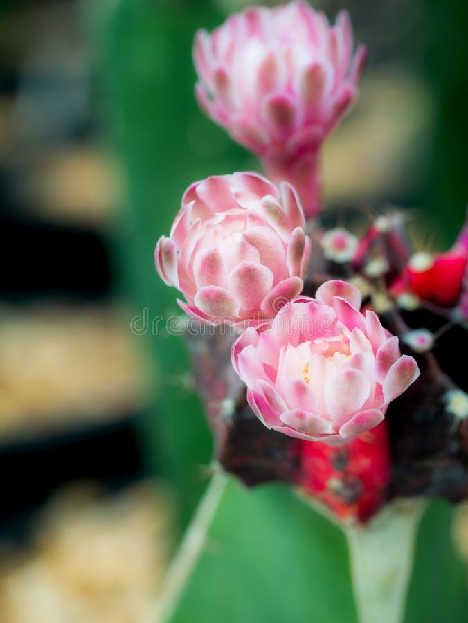 White Striped Pink Cactus Flowers. The White Striped Pink Cactus Flowers Blooming in The Pot stock photos