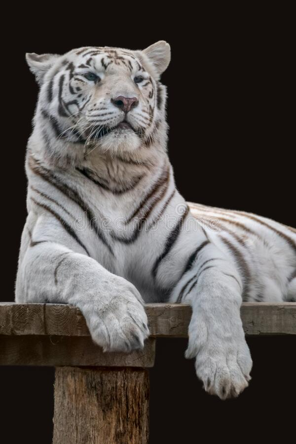 White striped tiger resting, black background. White tiger with black stripes on wooden deck. Vertical powerful portrait. Close view with black background. Wild royalty free stock photo