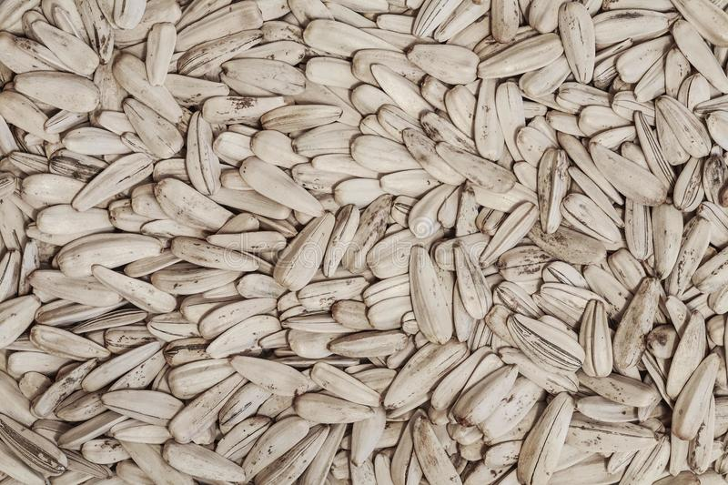 White sunflower seeds background. Sunflower white seeds in the husk closeup stock photo