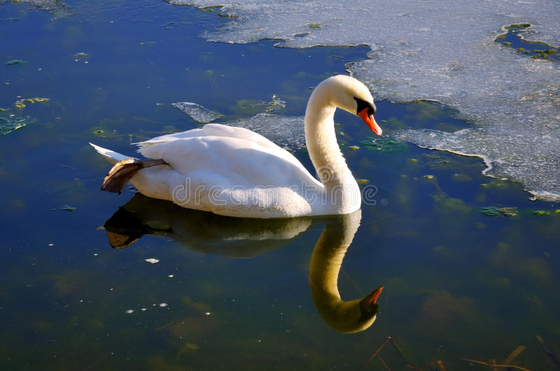 Download White swan stock photo. Image of purity, bird, swan, pond - 13421476