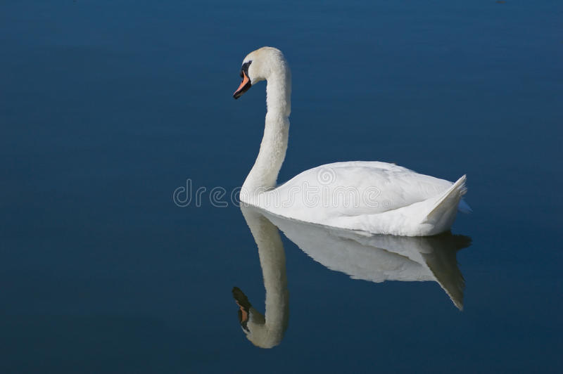 Download White swan stock photo. Image of neck, nature, animal - 14603066