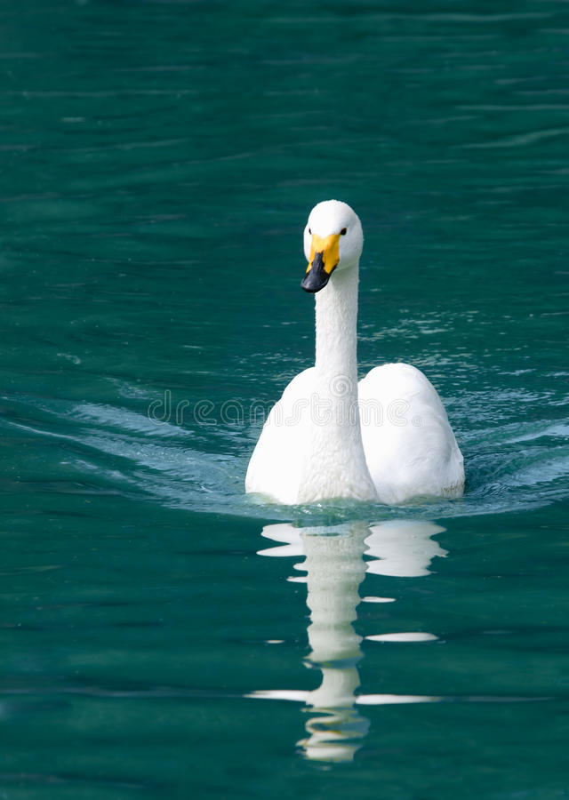 Download White swan stock image. Image of affectionate, feather - 16458547