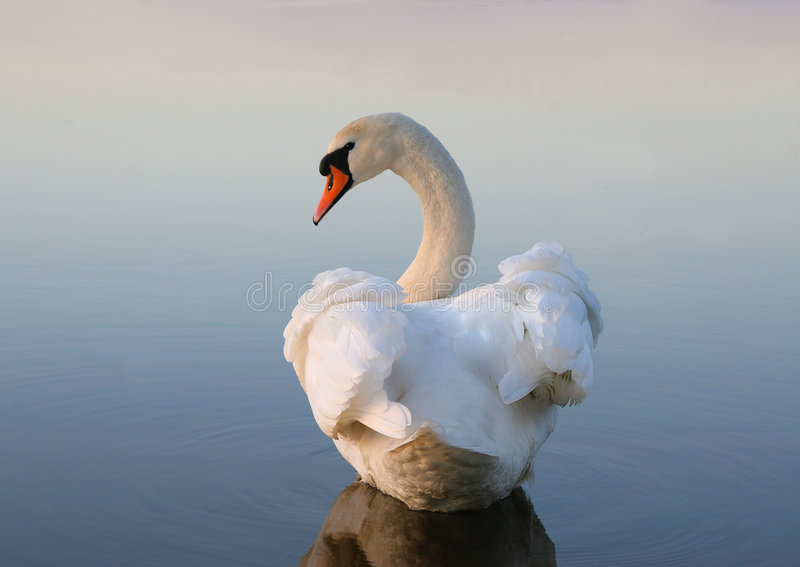 White swan royalty free stock image