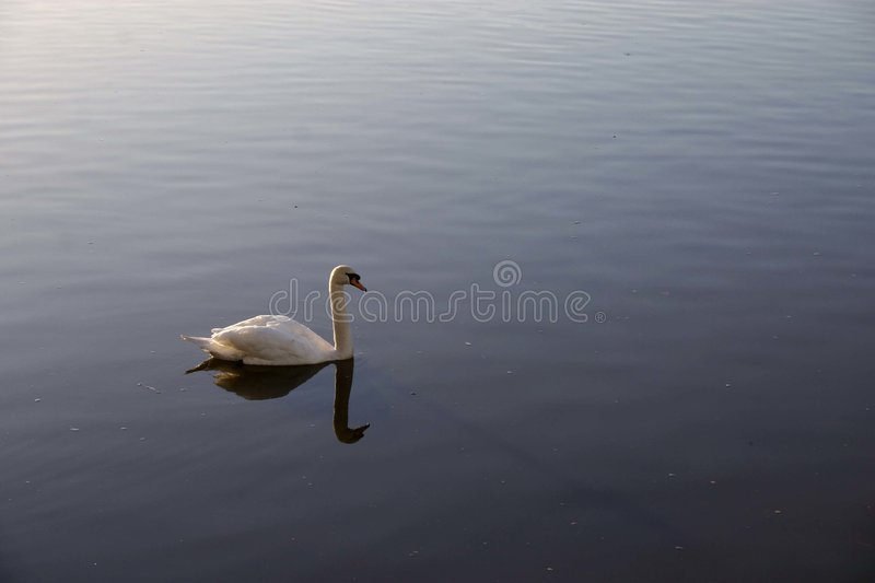 Download White swan stock photo. Image of lake, graceful, reflections - 330242