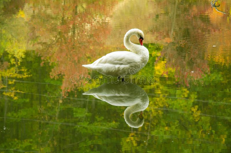 White swan in the autumn on the lake. White swan autumn lake water bird beautiful reflection green forest floats stock photography