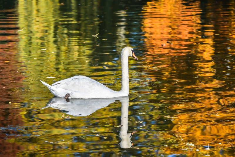 White swan, autumn royalty free stock image