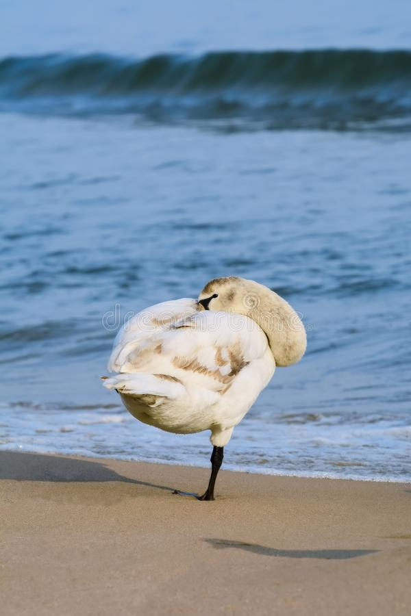 White Swan on the Beach royalty free stock photo
