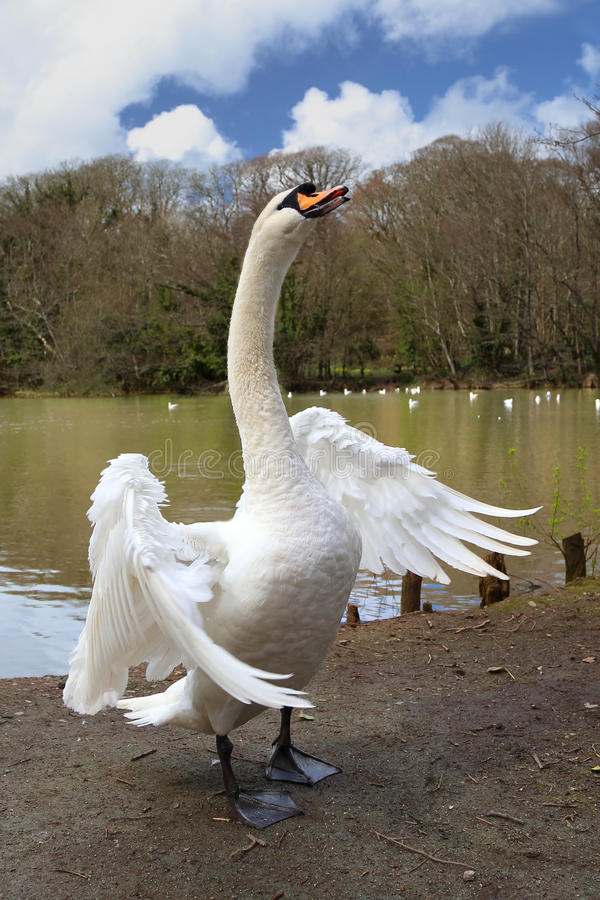 White Swan, wings spread stock photography