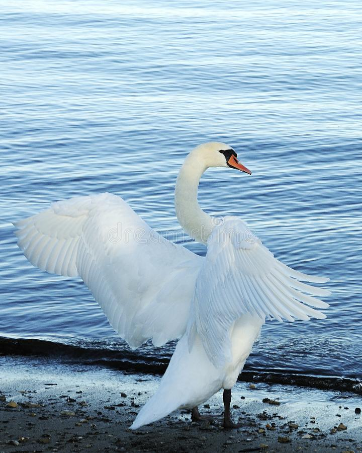 Swan Bird Stock Photos.  White swan bird by the water. White swan bird by the water exposing its body, head, beak, eye, spread wings royalty free stock images