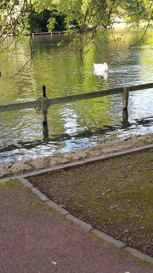 White Swan and black duck swimming royalty free stock image