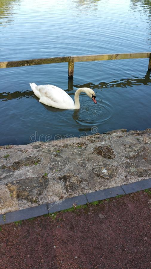 White Swan and black duck swimming stock images
