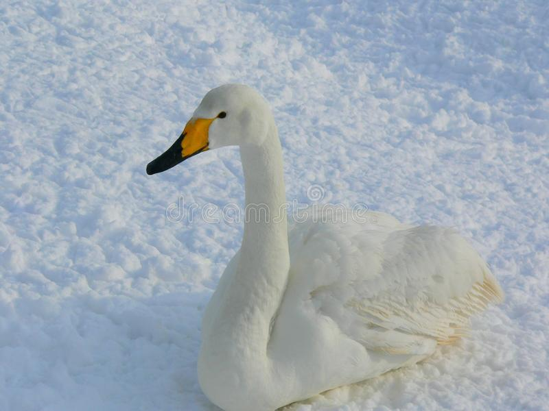 A white swan with black and yellow bill sitting on the snow stock photo