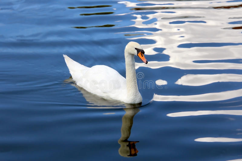 White Swan on a Blue Pond stock photo