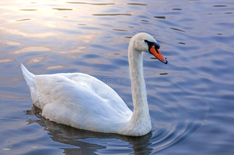 White swan in blue water floats, sun glare royalty free stock photography