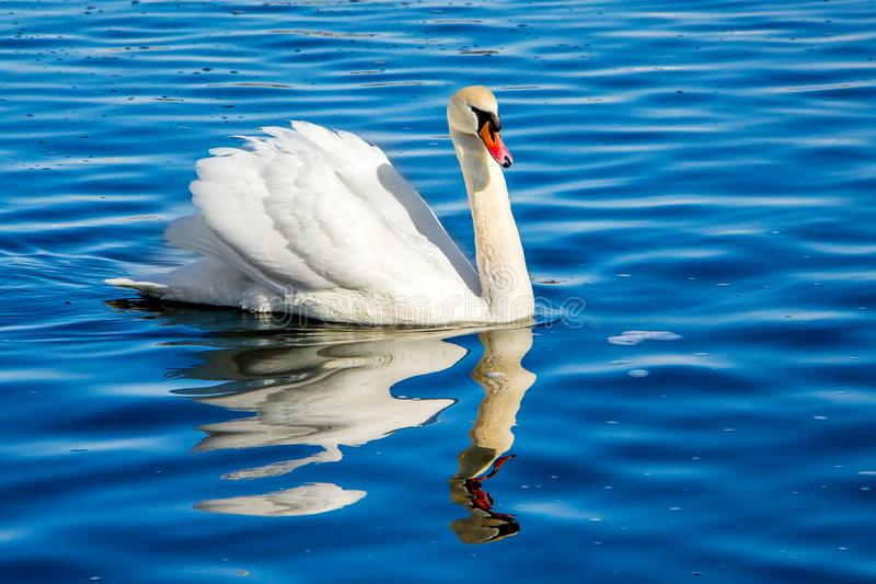 White swan on blue water, reflection of bird in water_. White swan on blue water, reflection of bird in water stock image