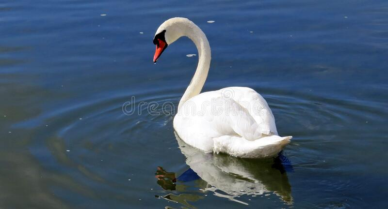 White Swan In The Body Of Water Free Public Domain Cc0 Image