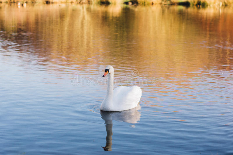 Download White Swan On A Body Of Water During Day Time Stock Image - Image of lake, animal: 85128923