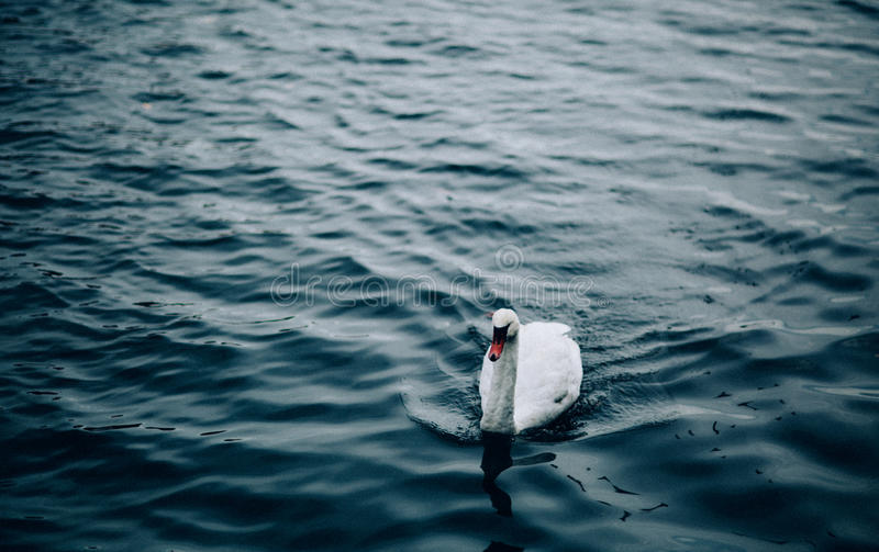 White Swan On Body Of Water Floating During Daytime Free Public Domain Cc0 Image