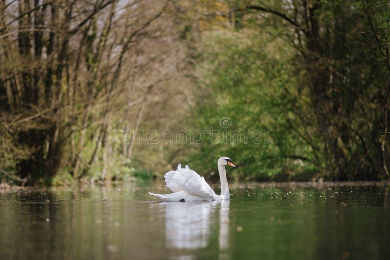 White Swan On A British Lake royalty free stock image