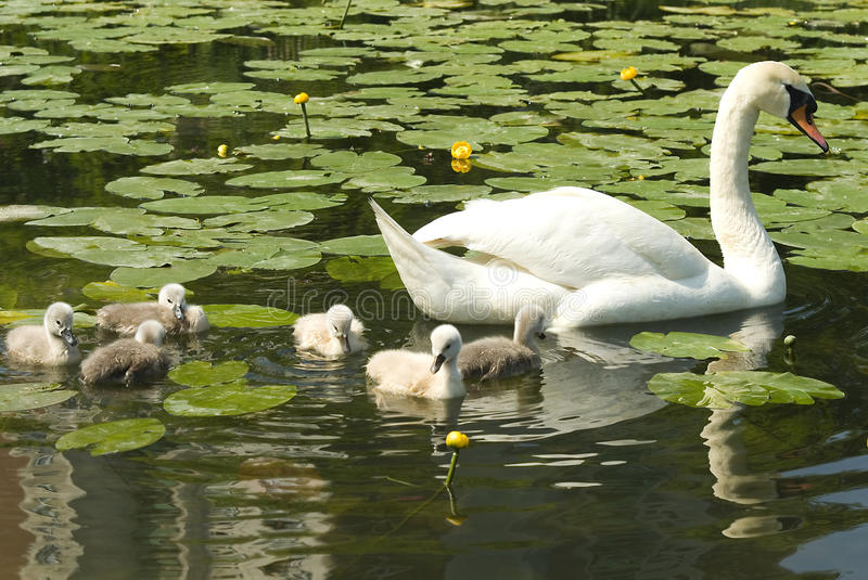 Download White swan with chicks stock image. Image of wildlife - 19686581
