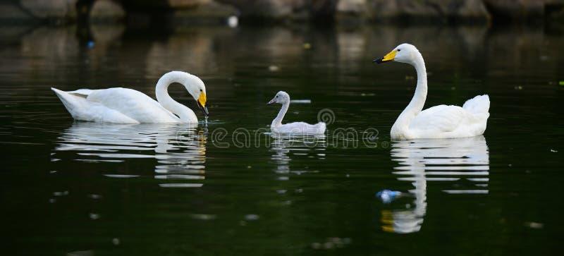 White swan and children