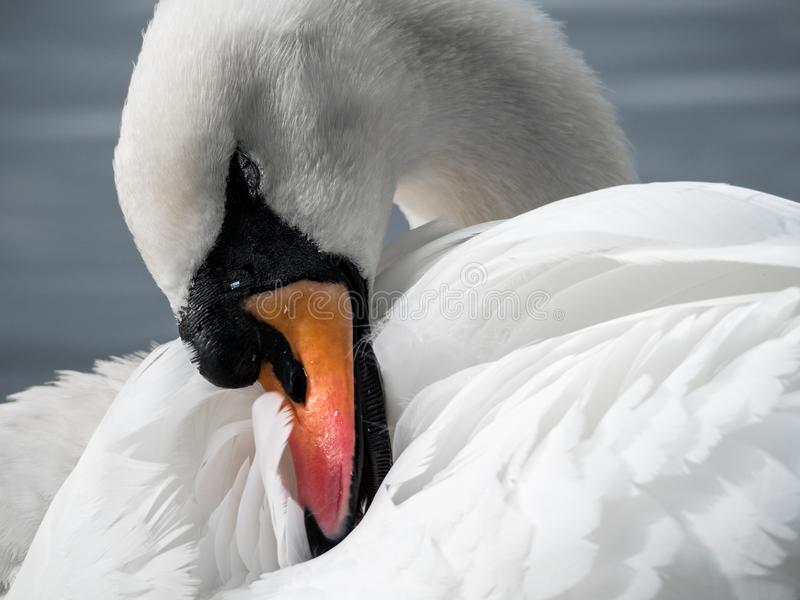White Swan Close-Up 03 stock photos