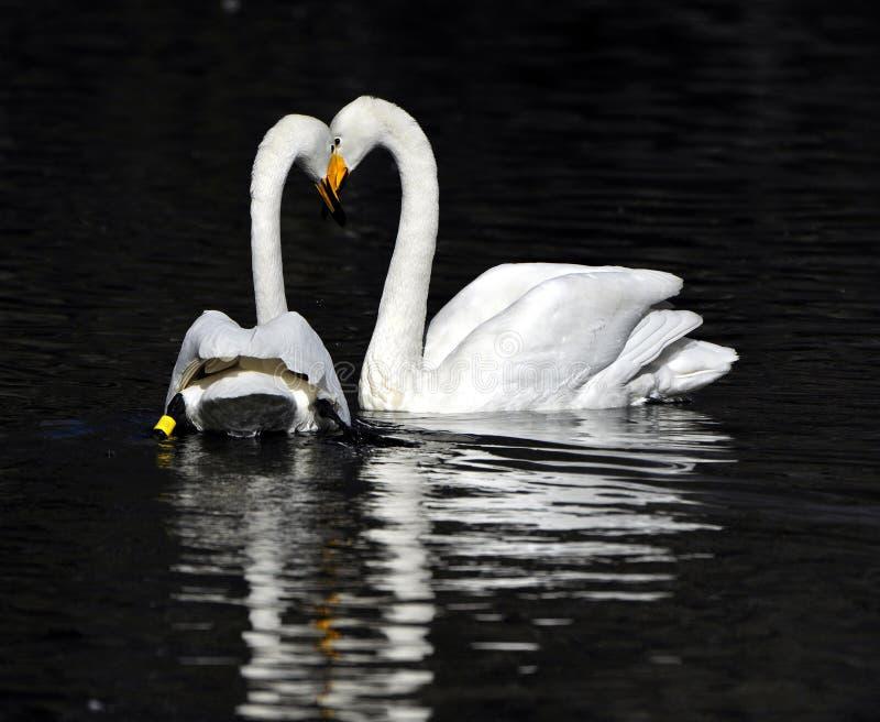 White swan couple royalty free stock image