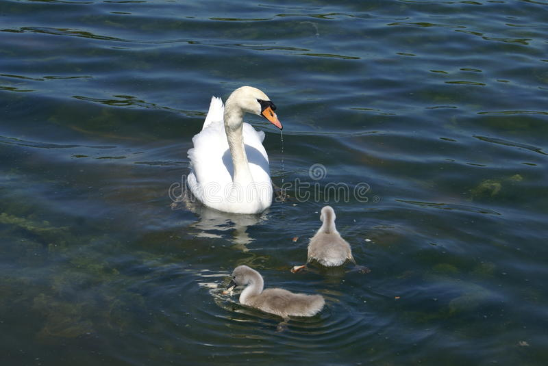 White swan and cygnets swimming in water. Birds of a white swan and cygnets swimming in water royalty free stock images