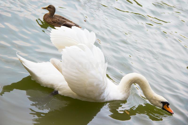White swan and a duck swimming in the lake royalty free stock image