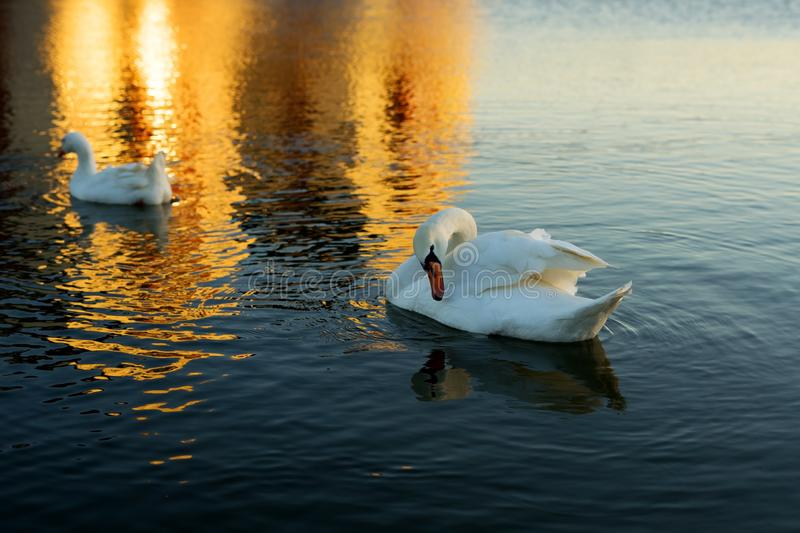 White swan on evening pond royalty free stock images