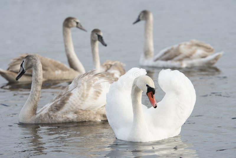 White Swan Family stock images