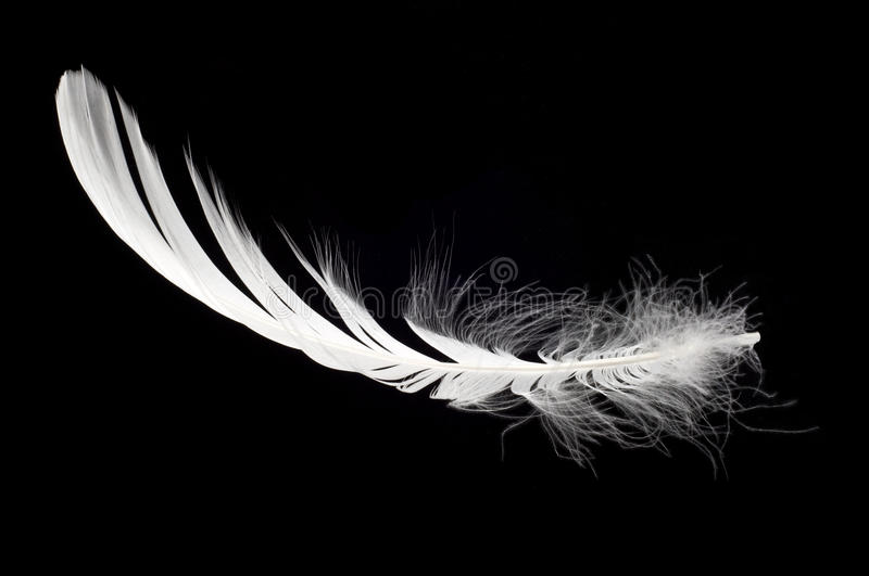 White swan feather isolated royalty free stock photo