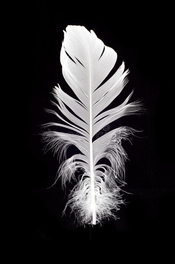 Free White Swan Feather Isolated Royalty Free Stock Photos - 18921438