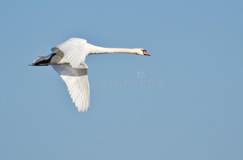 White Swan In Flight Royalty Free Stock Image