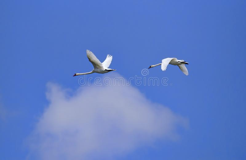 White swan in flight. Flying white swan in Danube Delta, blue sky background, animal, aquatic, attraction, bathing, beautiful, biosphere, bird, cloudy, ecosystem royalty free stock images