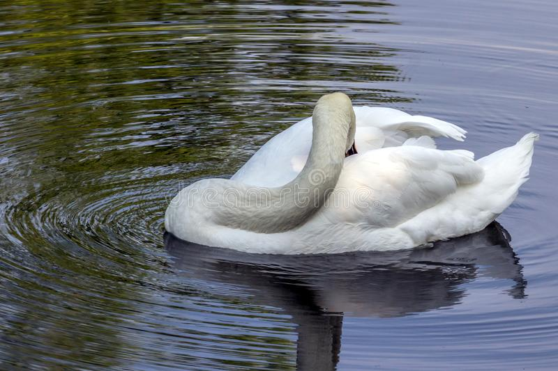 A white swan floating on the dark water and cleaning it`s plumage. Birds in the city. Animal world of Russia. Swan lake in the summer royalty free stock photos