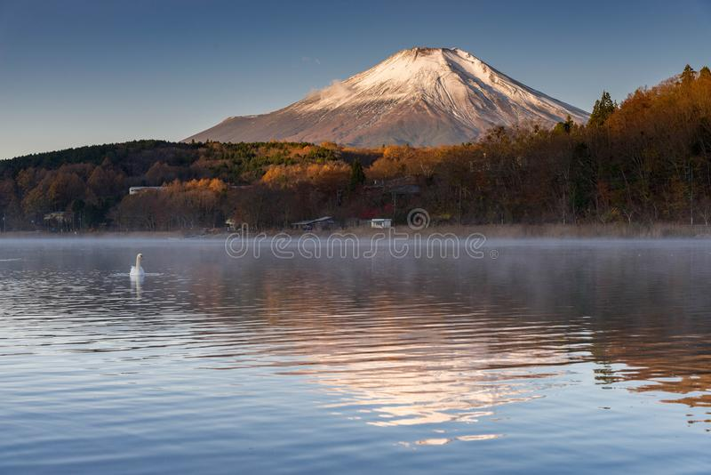 White swan floating on lake with Mountain Fuji in background at yamanaka lake , royalty free stock image