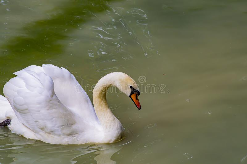 A white swan is floating in the water. Wild birds stock image