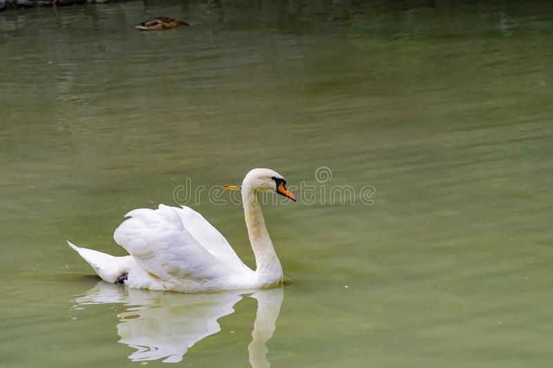 A white swan is floating in the water. Wild birds royalty free stock photo