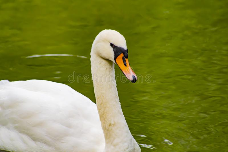 A white swan is floating in the water. Wild birds stock photography